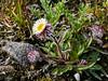 89.Erigeron eriocephalus 2007.8.3#213. The Cushion Fleabane. Sagavanirktuk River, coastal plain,North Slope, Alaska.