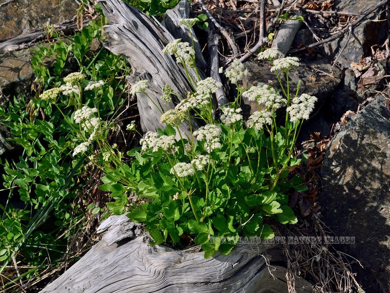65.Ligusticum scoticum 2013.7.19#083. The Beach Lovage. Cook Inlet near Potter Marsh, Alaska.