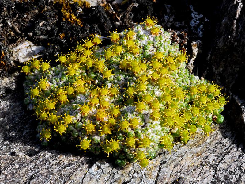 52.Saxifraga eschscholtzi 2008.6.14#009. Eschscholtz Saxifrage in the blooming stage. Savage Rock, Denali Park Alaska.
