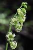 52.Tellima grandiflora, the Fringe Cups. Cook Inlet, Alaska. #624.026. 2x3 ratio format.