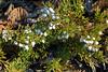 18.Juniperus horizontalis 2005.4.29#001. Bonnie Lake, Glenn Hwy, Talkeetna Mountains, Alaska.