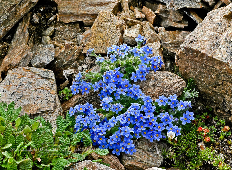 77.Eritrichium aretioides 2007.6.30#278. Mountain Forget-Me-Nots, as the name suggests occur mostly on high moist alpine slopes and ridges. A really pure dark blue sky color. Mount Healy's northeast side, Alaska Range , Alaska.