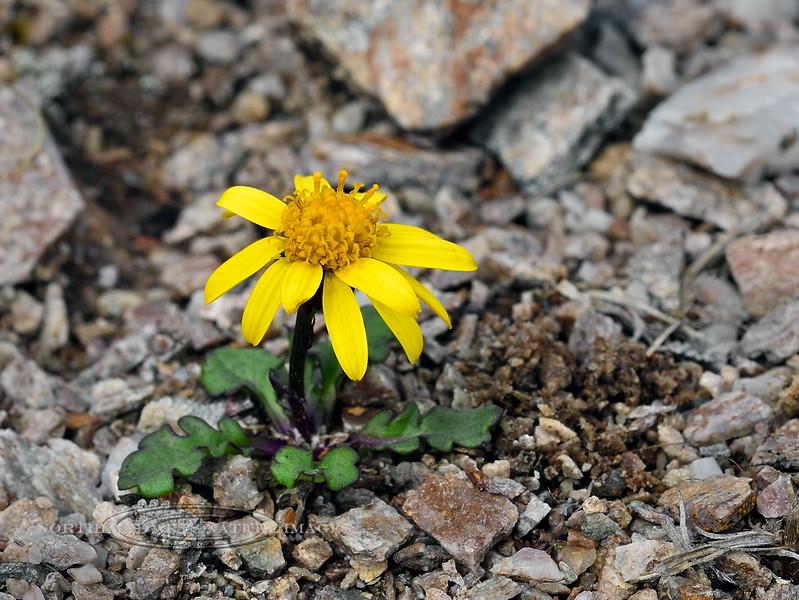89.Senecio residifolius 2014.7.9#259. The Dwarf Arctic Butterweed. Mount Healy's northeast side, Alaska Range, Alaska.