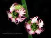 52.Tellima grandiflora 2010.6.24#065. The Fringe Cups. Mid Turnagain Arm, Cook Inlet, Alaska.
