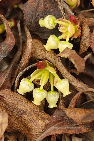 69.Arctostaphylos alpina 2014.4.26#003. Alpine Bearberry urns. Bison Gulch near Healy Alaska.