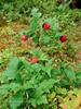 53.Rubus spectabilis 2014.8.6#228. Salmonbery. Turnagain Pass, Kenai Peninsula Alaska.