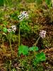 52.Saxifraga punctata 2013.7.11#079. Brook Saxifrage. Summit area Hatcher pass, Alaska.