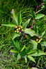 66.Cornus stolonifera 2013.7.16#074. The Red Twig Dogwood. Chitna, Alaska.