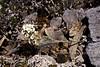 49.Smelowskia calycina 2001.6.21#22. The Alpine Smelowskia. Seward Peninsula, Alaska. Scanned from film stock.