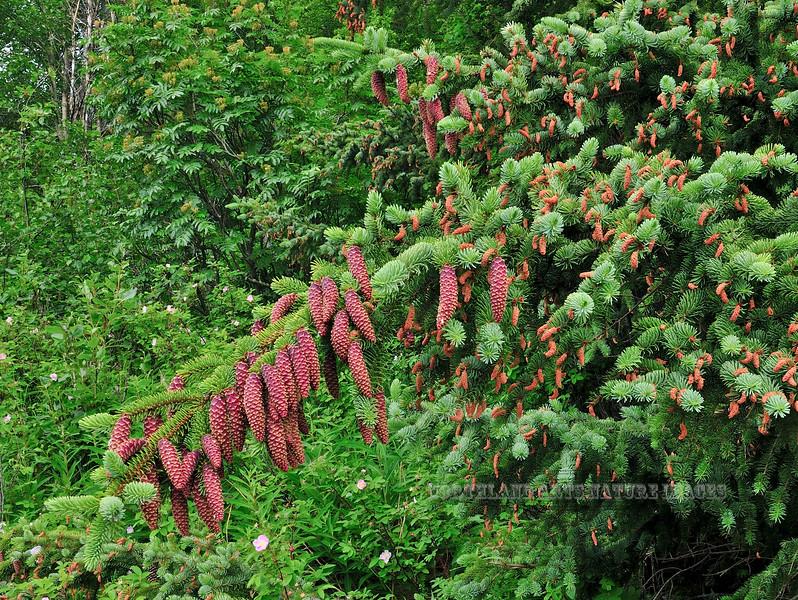17.Picea sitchensis 2010.6.22#001. The Sitka Spruce. Near Beluga Point, Turnagain Arm, Alaska.