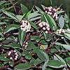 66.Cornus stolonifera 1999.8.12#66. The Red Twig Dogwood. Near Palmer, Alaska. Scanned from old film stock.