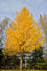 17.Larix laricina 2015.10.9#035. The Alaska Larch or Tamarack. Raspberry Road, Anchorage, Alaska.