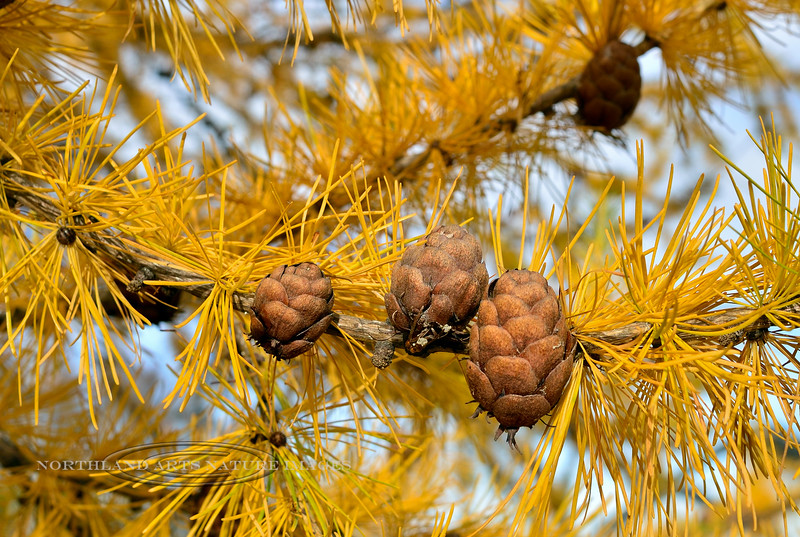 17.Larix laricina 2015.10.9#042. The Alaska Larch or Tamarack. Raspberry Road, Anchorage, Alaska.