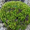 43.Arenaria Chamissonis 2008.6.29#131. A small cushion forming plant with odd yellowish green sepals as flowers. Thoro Ridge, Denali Park Alaska.