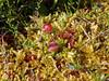 69.Oxycoccus microcarpus 2005.8.5#0168. The Bog Cranberry. Near Indian Turnagain Arm, Alaska.