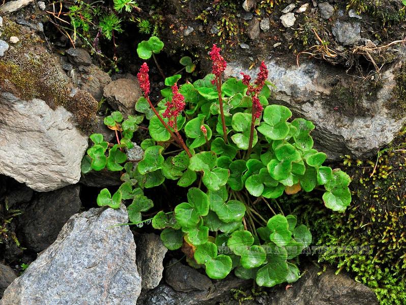39.Oxyria digyna 2010.8.2#057. Alpine or Mountain Sorrel. Summit area, Hatcher Pass, Alaska.