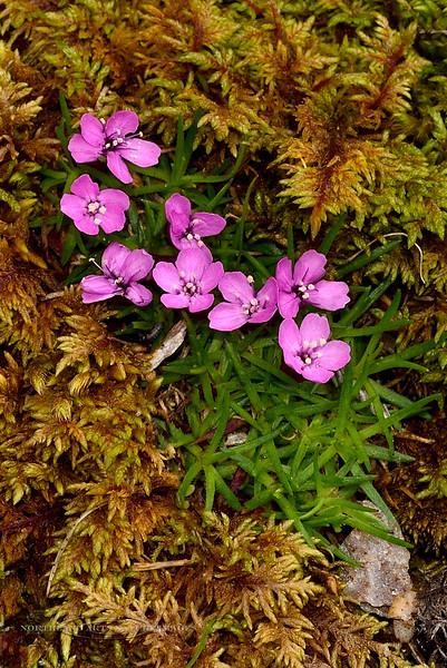 43.Silene acaulis,subacaulescens 2014.6.28#046. Moss Campion. Savage Canyon west side, Denali Park Alaska.