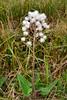 89.Petasites sagittatus 2014.6.22#050. Arrowleaf Coltsfoot. Nelchina basin, Alaska.