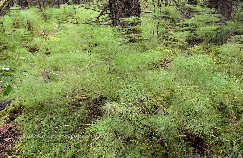 4.Equisetum pratense 2014.8.9#039. A Horsetail species. Kincaid Park, Anchorage Alaska.