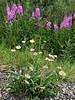 89.Erigeron caespitosus 2015.7.4#195. Tufted Fleabane. Against a backdrop of Fireweed. Near mile twelve, Denali Park Alaska.