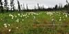 26.Eriophorum angustifolium 2011.7.14#009. Cotton Grass in a bog near Chulitna, Alaska.