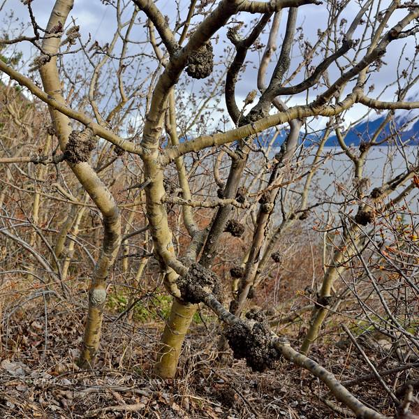 33.Populus tremuloides 2016.3.29#047. With Black Stem Galls. Rainbow trail, Turnagain Arm, Alaska.