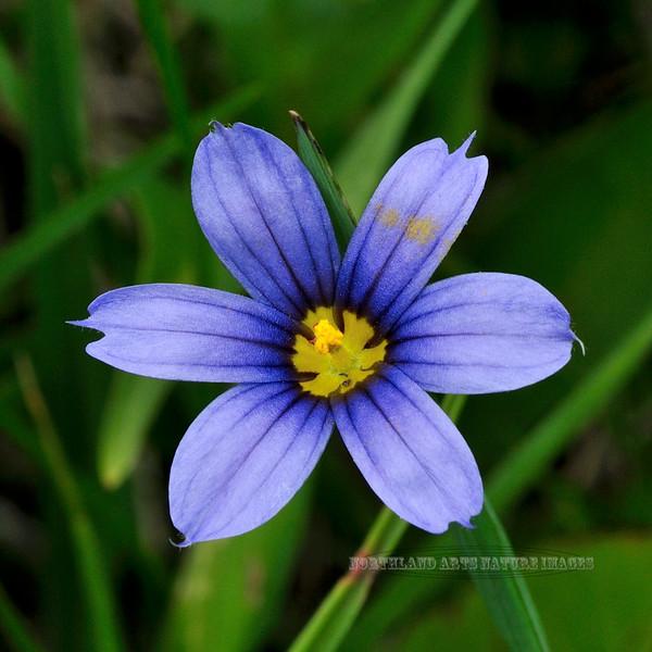31.Sisyrinchium montanum 2014.6.22#063. Blue-eyed Grass. Turnagain Arm, Alaska.