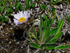 89.Erigeron grandiflorus 2008.6.30#074. The Large Flower Fleabane. Sheep Mountain, Glenn Highway, Talkeetna Mtn's, Alaska.