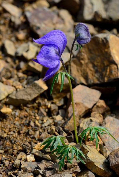 46.Aconitum delphinifolium 2015.7.3#037. Monks Hood. A dwarf plant in an obvious high altitude alpine environment. Maybe a paradoxum subspecies. Thoro Ridge, Denali Park Alaska.