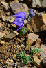 46.Aconitum delphinifolium 2015.7.3#037. Monks Hood. A dwarf plant in an obvious high altitude alpine environment. Maybe a paradoxum subspecies. Thoro Ridge, Denali Park Alaska.