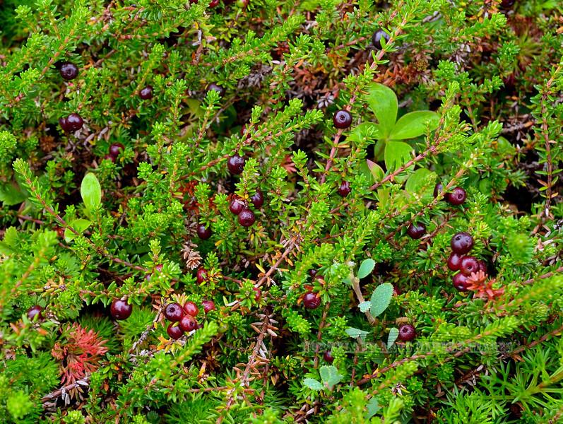 68.Empetrum nigrum 2015.7.21#055. Crowberry. Turnagain Pass, Kenai Peninsula, Alaska.
