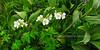 55.Geranium erianthum 2010.7.22#099. The Wild Geranium, in an uncommon pure white form. Turnagain Pass, South Central, Alaska.