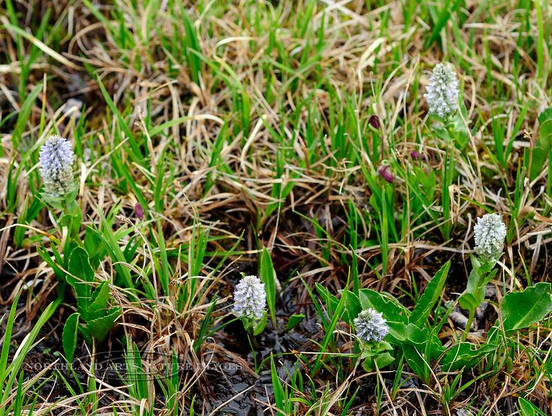80.Lagotis glauca minor 2012.6.30#044. The Weasel Snout. A more uncommon whiteish form. Primrose Ridge, Denali Park, Alaska.