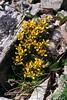 49.Draba densifolia. Alaska Range, Alaska. #616.10. 2x3 ratio format. Scan from old film stock.