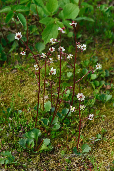 52.Saxifraga lyalli 2013.7.11#072. The Red-stemmed Saxifrage. Summit area Hatcher Pass,Talkeetna mountains Alaska.