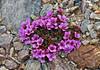52.Saxifraga oppositifolia 2006.5.12#0262. The Purple Mountain Saxifrage. RR Pad near Bison Gulch, Alaska Range, Alaska.