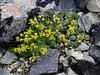 49.Draba stenopetala 2008.6.29#091. Thoro Ridge, Denali Park Alaska.