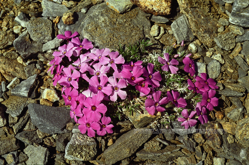 75.Phlox sibirica 2001.6.21#23. The Siberian Phlox. Anvil Mountain,  Nome, Alaska. Scanned from old film stock.
