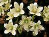 52.Saxifraga bronchialis 2010.6.19#352. The Yellow Spotted Saxifrage. N.E. Mount Healy, Alaska Range, Alaska.