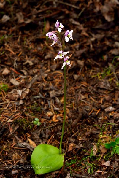 32.Amerorchis rotundifolia 2014.7.6#120. Round leaf Fly Specked Orchid. Near Glennallen, Alaska.