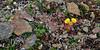 52.Saxifraga flagellaris 2011.6.30#110. The Spider Saxifrage. Sheep Mountain, in the Talkeetna's, Alaska.