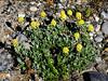 89.Artemisia glomerata 2012.7.11#057. Pacific Alpine Wormwood. Approx. 20 miles south of Deadhorse on the Sagavanirktok River, North Slope, Alaska.
