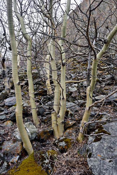 33.Populus tremuloides 2016.3.31#030. The Quaking Aspen. Above Windy Point, Turnagain Arm Alaska.