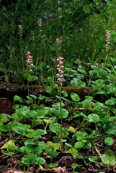 67.Pyrola asarifolia 2010.7.27#005. The Pink Pyrola. Portage Road, Turnagaiin Arm Alaska.