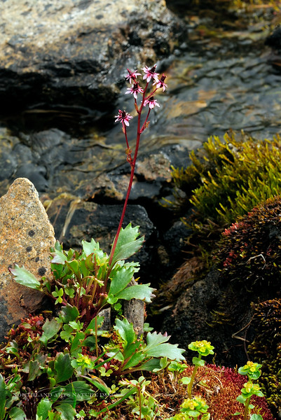52.Saxifraga Davurica 2011.7.10#034. Phillip Smith Mountains, Brooks Range, Alaska.