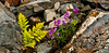 62.Wood Fern & Dwarf Fireweed, Epliobium latifolium 2011.7.10#021. Byron Glacier near Portage, Chugach Mtn's, Alaska.
