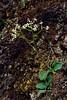 52.Saxifraga reflexa 2014.6.5#017. The Reflexed Saxifrage blooming early on a south facing dry slope. Morino Trail, Denali Park Alaska.