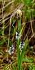 25.Alpine Holy Grass 2016.7.2#069, Hierochloe alpina. Near Maclaren Summit, Denali Highway Alaska.