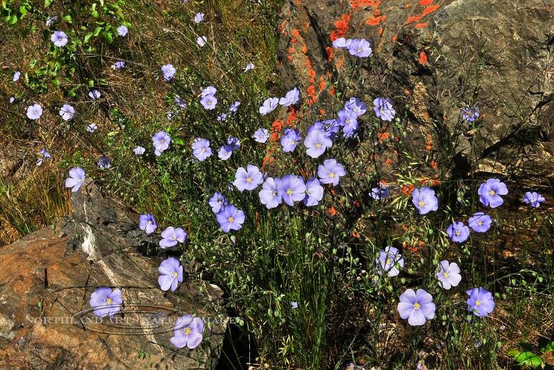 56.Linum perenne 2010.6.24#042. The Wild Blue Flax likes sunny dry places. Turnagain Arm near Beluga Point. Alaska.