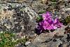 69.Rhododendron camtschaticum glandulosum 2015.6.22#228. The Kamchatka Rhododendron. Near Wooly Lagoon, Seward Peninsula, Alaska.